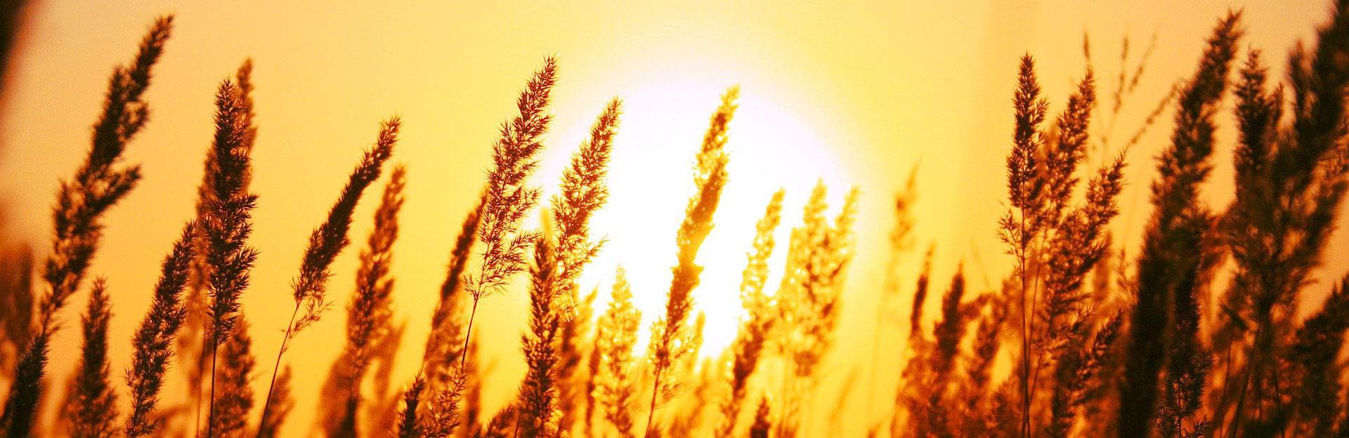 tramonto-grano
